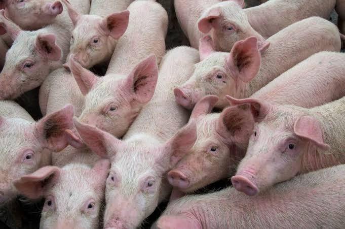 Where to Sell Pigs in South Africa