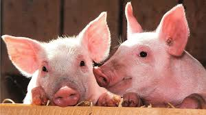 What Nutrition's do Pigs Need - Farming for Success