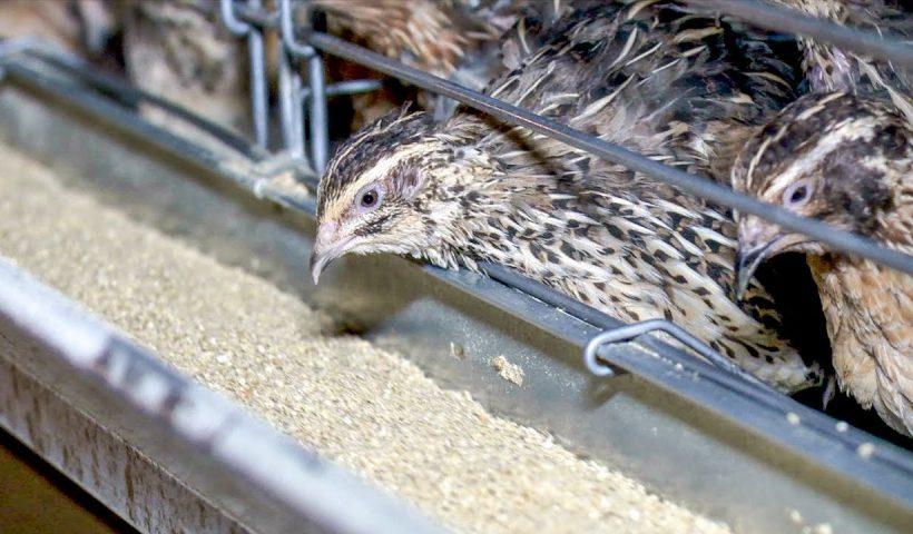 quail farming south africa