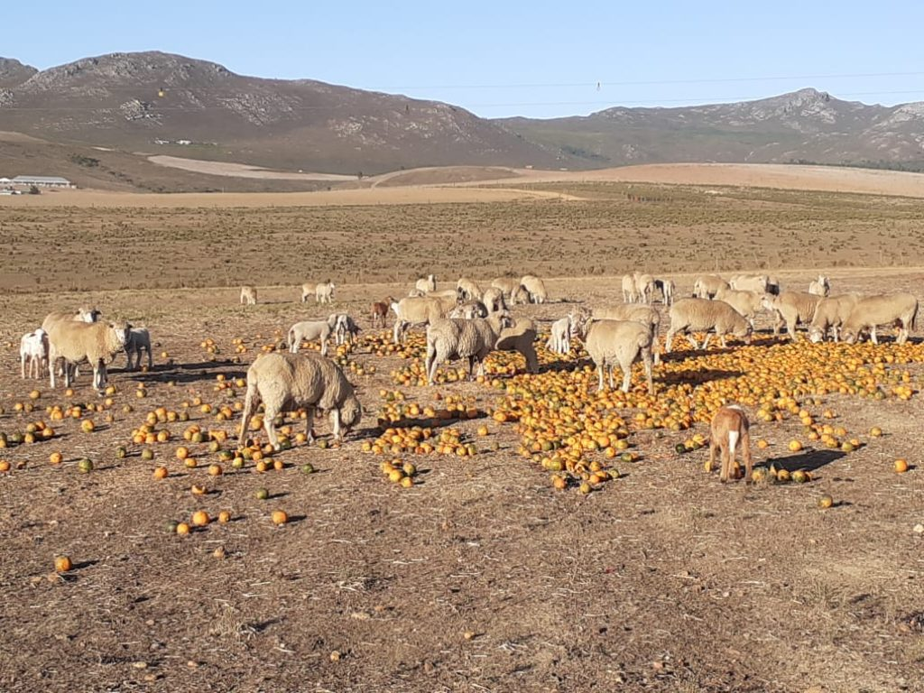 Farmer feeding his Sheep Gem Squash
