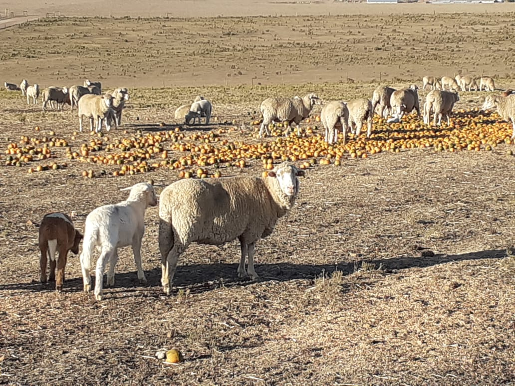 Sheep enjoying gem squash