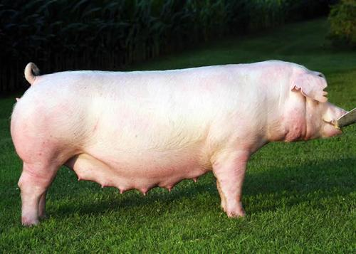 Best Pig Breed to Farm with in South Africa