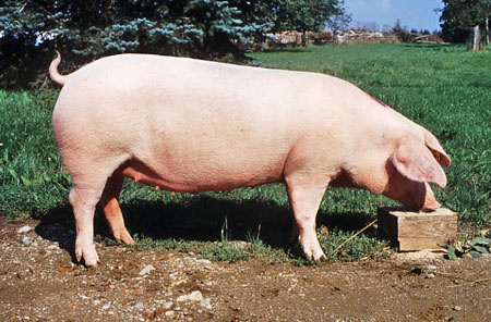 Landrace Breed Pig Farming Popular Breeds in South Africa - Best Pig Breeds to Farm with in South Africa