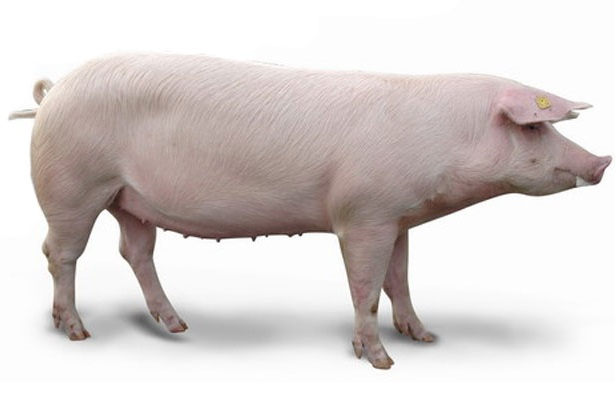 F1 Crossbred Best Pig Breeds to Farm with in South Africa