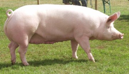 Large White Best Pig Breeds to Farm with in South Africa Duroc Pig Farming
