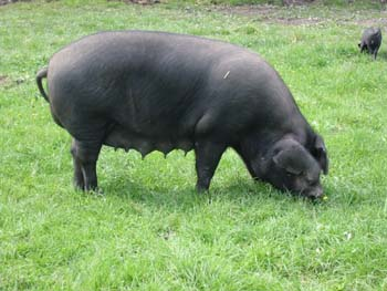 Farming with best pigs in SA -  Best Pig Breeds to Farm with in South Africa Large Black Breed