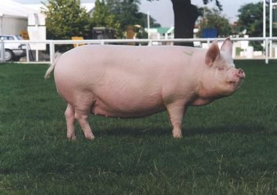 What pigs can I farm with in South Africa -  Best Pig Breeds to Farm with in South Africa
