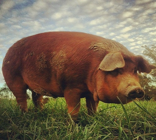 Best pig breeds in South Africa  Best Pig Breed to Farm with in South Africa