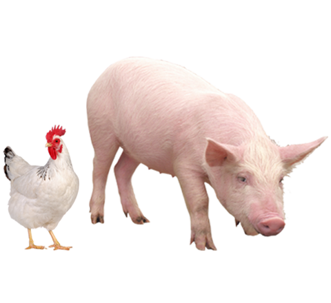 What is better chicken or pig farming