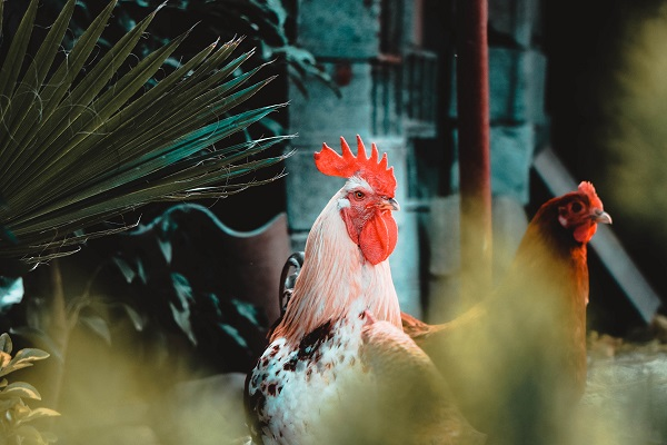 Chicken Farming Demand on the Rise in SA