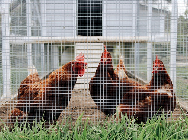 Chicken Farming on Demand