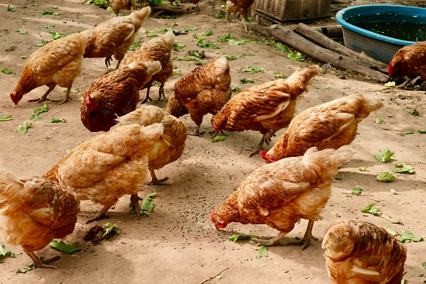 Questions about Chicken Farming in South Africa