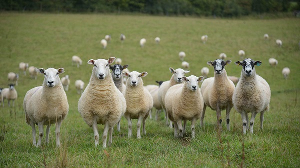 What to look at when starting a Sheep Farming Business