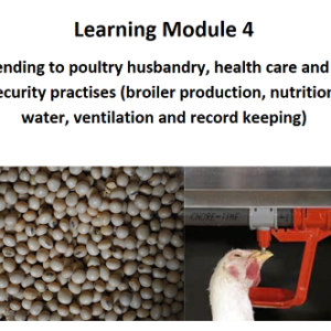 Attending to Poultry Husbandry
