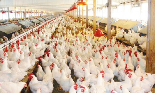 Farming South Africa - How to Keep Your Chickens Making Money All Year