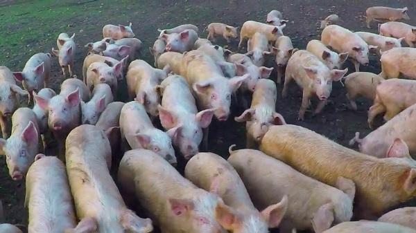 Pig farming Farming in South Africa | Crop Farming | Livestock | Market Prices