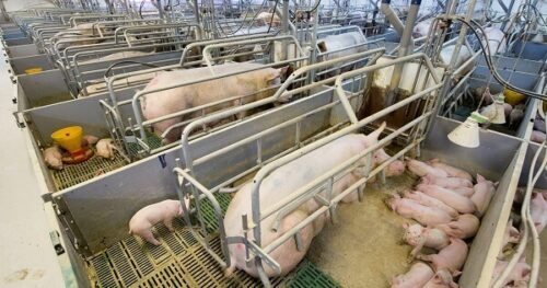 Pig Farming - Housing and Farrowing Crates