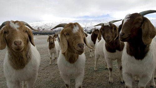 What you need to know about Goat Farming