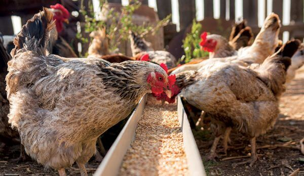 Basic Rules for the Poultry Farmer