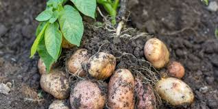 Stop Buying Potatoes and Farm your own