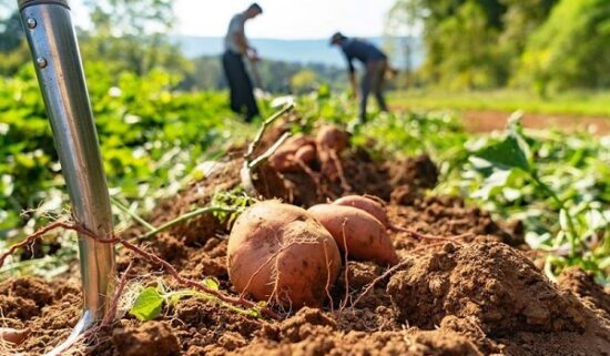 How to farm potatoes at your house