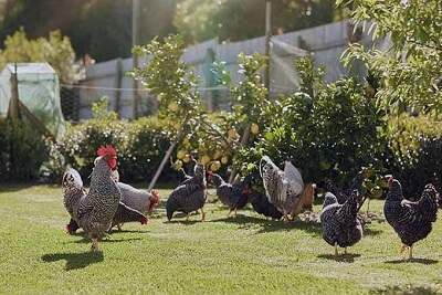 How Chickens Fertilize Your Garden