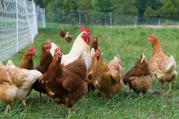 Improved free range poultry rearing