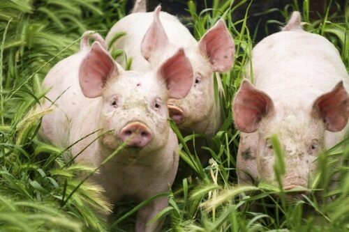 Food types that will help your pigs grow faster