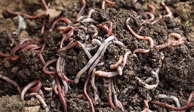 How to get Free Chicken Feed farming with worms